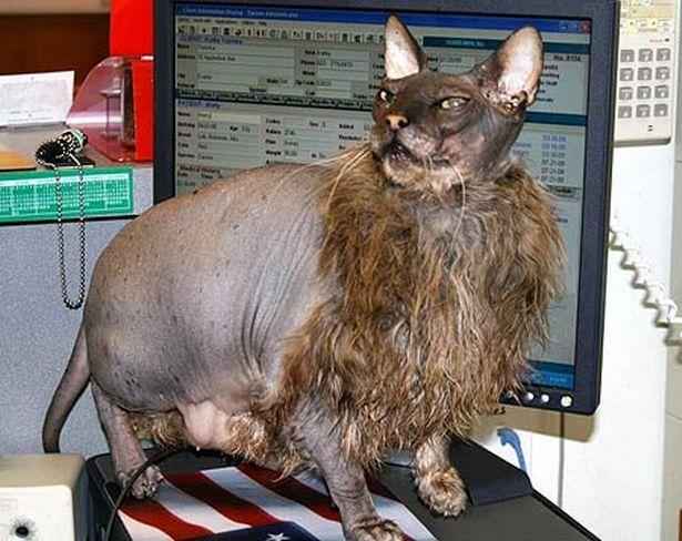 Ugly_cat_PicBarcroft_Image_1_629107484.jpg